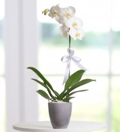Beyaz tek dallı orkide